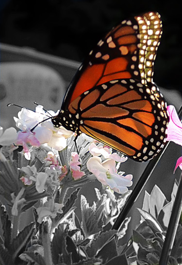 butterfly-with-pink.jpg