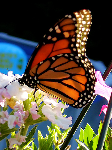 karens-monarch-trial-1a-for-web.jpg