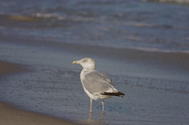 med-seagull.jpg