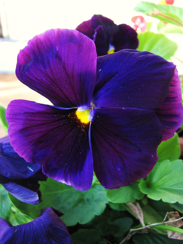 Pansy Bluepurple Pinterest Pansies Flowers And Viola
